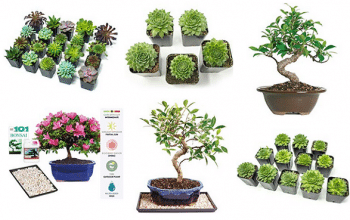 Amazon Deal: Succulents & Bonsai Trees (Mother's Day gift ideas)